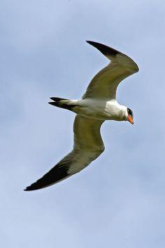 Caspian Tern, via Flickr.