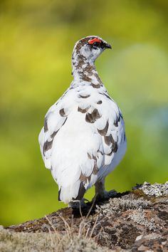 Rock ptarmigan or rjúpa as it is called in Icelandic.  Iceland - Jim Zuckerman Photography