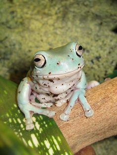 We have a 10 year old White Tree Frog named Pogo! He's a cute old frog.