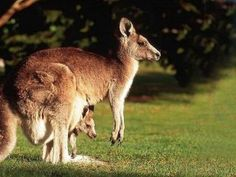 The ever new collection of cute baby kangaroos free desktop new hd wallpaper