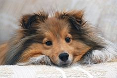 sweet baby..sheltie...so love shelties