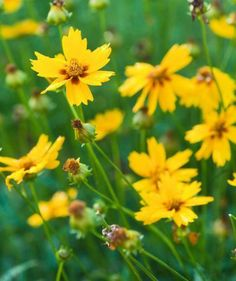 Coreopsis, one of the longest garden bloomers for the Midwest. More easy-care Midwest plants: http://www.midwestliving.com/garden/ideas/25-top-easy-care-plants-for-midwest-gardens/page/18/0