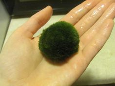 Benefits of the Marimo Moss Ball - they help keep the tank clean and betta can play with them