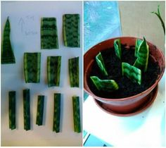 Propagating house plants through leaf cuttings is very easy, as shown in the picture with this Mother-in-laws-tongue