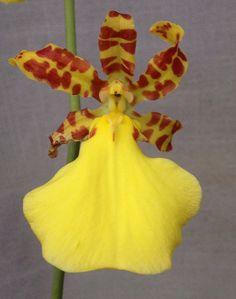 Macro of Oncidium splendidum - Flickr - Photo Sharing!