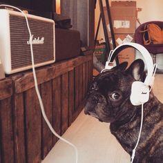 Bossthefrenchbulldog