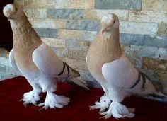 Tumbler Pigeons, Pigeon Pictures, Pigeon Breeds, Pigeon Bird, Racing Pigeons, Pet Birds, Fancy, Pets, Wings