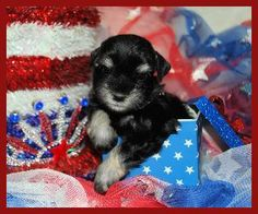 Available Puppies For Sale in California, Nevada, Arizona, Southern California