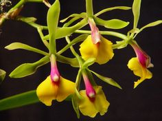 Dancing Orchids ~ bright yellow and deep pink