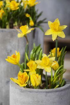 Gule påskeliljer gir god påskestemning og tåler noen kuldegrader. Daffodils, Spring Time, Shabby Chic, Easter, Floral, Flowers, Plants, Country Style, Cottages