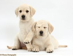 white lab | Dogs: Yellow Labrador Retriever puppies, 8 weeks old photo - WP37860