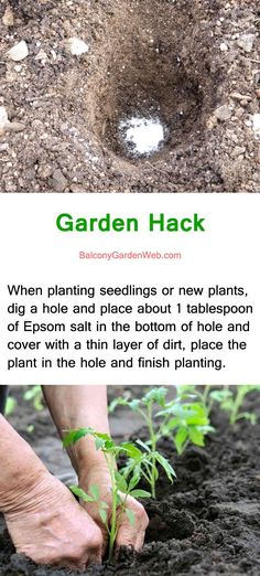 garden hack use epsom on botton of planting hole