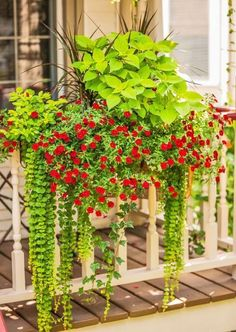 A long planter chock-full of flowers and foliage substitutes for a window box on a porch railing. 'Goldilocks' creeping Jenny, 'Burlesque' pigeon berry, Madagascar dragon tree, calibrochoa and coleus create a lush mix of upright and trailing plants. More container gardens with pizzazz: http://www.midwestliving.com/garden/featured-gardens/container-gardens-with-pizzazz/?page=2 #gardeningwithcontainers