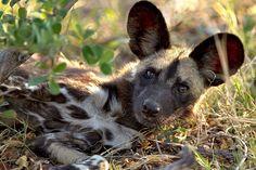 wild dog pup, Botswana, Africa ~ photographer Thomas Retterath #nature #wild_dog #Africa