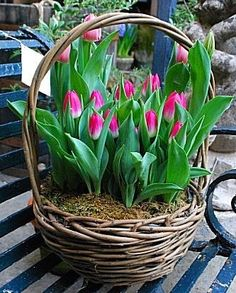 Belas tulipas da primavera.  Fotografia: loveliegreenie por margot graham.