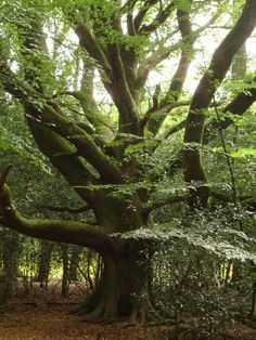 "forest tree, an old beech, locally called ""beech traveler"" . Mystical Forest, Old Trees, Walk In The Woods, Nature Tree, Big Tree, Tree Forest, Tree Of Life, Amazing Nature, Flora"