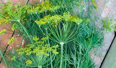Ikdyž vám koprovka nevoní, můžete okusit sílu kopru vdipech kmasu či zálivkách na salát. Kojícím matkám pomůže stvorbou mléka, kašlajícím zas zmírní… Herbs, Herb, Medicinal Plants