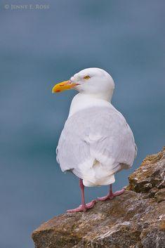 http://www.lifeonthinice.org/data/photos/208_1jeross_birds_23.jpg