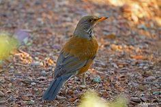 Rufous-backed Robin, photo by Matt Orsie  I saw mine in Puerto Vallarta, Mexico