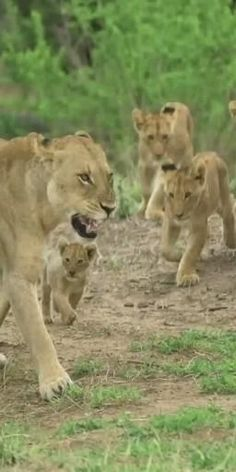 Nature Animals, Zoo Animals, Animals And Pets, Funny Animals, Cute Animals, Majestic Animals, Animals Beautiful, Lion King Video, Baby Lion Cubs