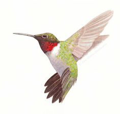 Ruby-throated Hummingbird in Flight, Set of 6 Blank Cards and Matching Envelopes, Size A6