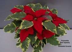 """HOT OR NOT? The """"NEW"""" Euphorbia pulcherrima Red Tapestry"""