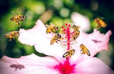 ABEJAS EN FLOR DE ROSA DE SIRIA (HIBISCUS SYRIACUS) - BEES IN FLOWER ROSE SYRIA (HIBISCUS SYRIACUS).