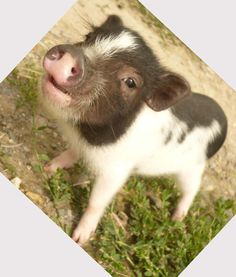 Mini Pigs | Mini pet pigs: