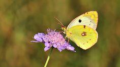 https://flic.kr/p/PzFpzL   Colias alfacariensis   Berger's Clouded Yellow  ♂