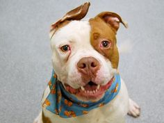 TO BE DESTROYED - 11/23/14 Manhattan Center -P My name is ROCKY. My Animal ID # is A1020700. I am a male white and brown amer bulldog mix. The shelter thinks I am about 1 YEAR   I came in the shelter as a OWNER SUR on 11/14/2014 from NY 10460, owner surrender reason stated was PET HEALTH. I came in with Group/Litter #K14-201985