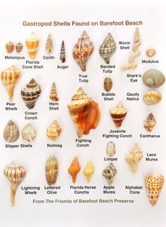 Friends of Barefoot Beach Preserve, shells, Naples FL Seashell Crafts, Beach Crafts, Seashell Wreath, Ocean Crafts, Seashell Identification, Fighting Conch, Shell Crowns, Shell Game, Barefoot Beach