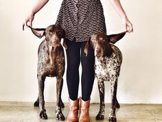 #GSP German Shorthaired Pointer- By Stephanie McCombie