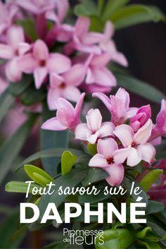 Cuphea hyssopifolia false or mexican or hawaiian heather for Ada jardin perfume