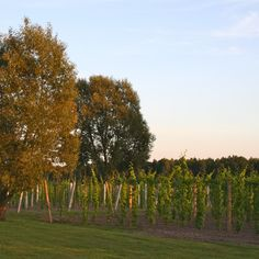 Vineyard, Country Roads, Outdoor, Outdoors, Vine Yard, Vineyard Vines, Outdoor Games, The Great Outdoors