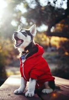 husky - cute - @✔ b l a c k w h i t e