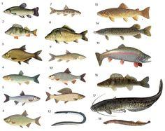 British Fish pictures Quiz By spikeharby Animals Name In English, Goldfish Types, Fish Chart, Oscar Fish, Homer Alaska, Animal Worksheets, Different Fish, Fish Stock, Pet Fish