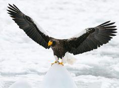 Steller's Sea Eagle,  Japan.   by Harry Eggens