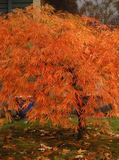 The Six Best Japanese Maples for Fall Color--Acer palmatum var. dissectum 'Viridis' The Six Best Japanese Maples for Fall Color--Acer palmatum var. Green Japanese Maple, Japanese Maple Varieties, Gardening Magazines, Acer Palmatum, Autumn Scenes, Maple Tree, Belleza Natural, Lawn And Garden, Garden Inspiration
