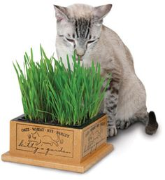 Kitty's Garden. Like people, cats need vegetables in their diet for pet health.