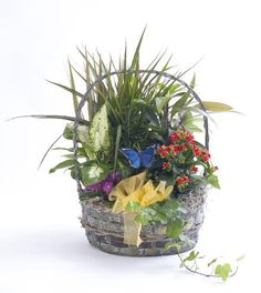 Pleasing variety of plants neatly arranged in an attractive wicker basket complete with a butterfly and bow.