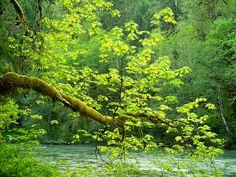 Reaching Bigleaf Maple, Stillaguamish River Valley, Washington | Slavomir Dzieciatkowski