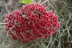 Hoya Carnosa Red