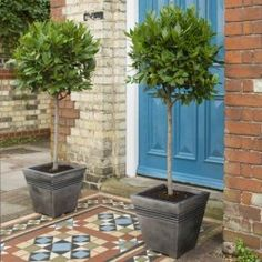 This Bay Tree Laurus nobilis - two Half Standard trees with 2 FREE Planters are great located in containers, beds and borders in various of your garden. When mature, they'll create an eye-catching display. Front Door Planters, Garden Planters, Topiary Trees, Potted Trees, Topiaries, Bay Tree Front Door, Bay Trees In Pots, Bay Leaf Tree, Bay Leaves