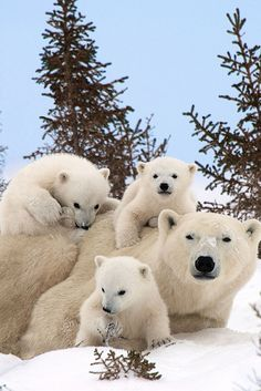 More There may be nothing cuter than a polar bear cub. Except, of course, multiple polar bear cubs. And a full-grown adult polar bear thrown in for good measu. Nature Animals, Animals And Pets, Wild Animals, Cute Baby Animals, Funny Animals, Baby Polar Bears, Baby Pandas, Panda Bears, Tier Fotos