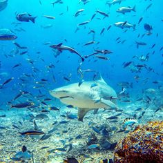 Probably the craziest but also the best experience ever! Must do when in Fiji! Diving with sharks is crazy! Shark Diving, Sharks, Underwater World, Fiji, Wanderlust, Memories, Travel, Animals, Animales