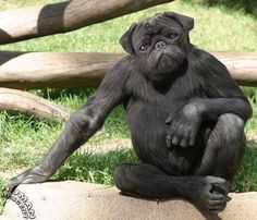 pug gorilla | Here were see the PuGorilla. Easily trained, very strong, loyal, and ...