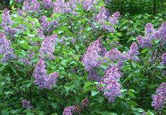 Syringa vulgaris Zone 2 Soleil Sol fertile, frais Hauteur: 6 m Largeur: 2 m Drageons à la base.  Il existe plusieurs variétées de lilas. Les hauteurs et floraisons sont très variables. De 60 cm à 6 m de hauteur. Du blanc passant par le rose, mauve, bleu et le violet pour les couleurs. Il y a même un lilas qui fleurit de juin jusqu'au mois de septembre. C'est le Syringa x tribida 'Josée'