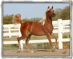 Chestnut Arabian filly, dad is Thee Asil
