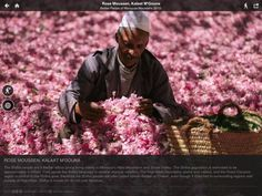Destination: Morocco's famous Rose Festival at Kelaât M'Gouna (first weekend in May) located East of Marrakech between Atlas mountains and Sahara Marrakech, Parfum Flower, Perfume Store, Rose Perfume, Meditation, Rose Oil, Aromatherapy Oils, North Africa, Rose Petals