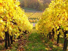 Autumn Vineyard | Herbstliche Weinberge in Rotenberg / Stuttgart Autumn Vineyard in Rotenberg / Stuttgart / Germany